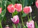 Tulipany z Kowna