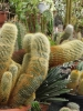 Kaktusiarnia_4